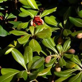 Pittosporum tobira fruit - Pittospore du Japon