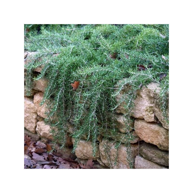 Rosmarinus officinalis var. repens - Romarin rampant