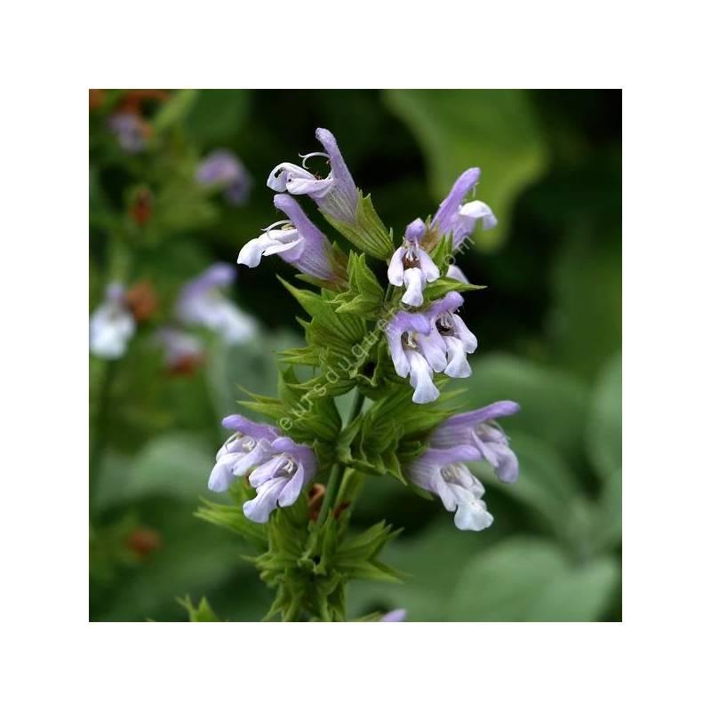 Salvia tomentosa - sauge tomenteuse