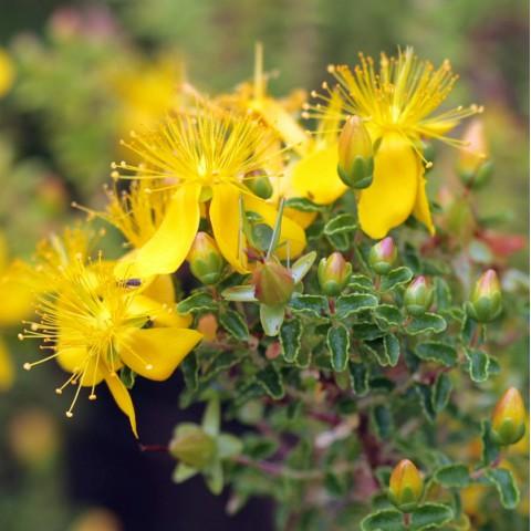 Hypericum balearicum - Millepertuis des Baléares
