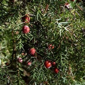 Juniperus oxycedrus - Genévrier cade