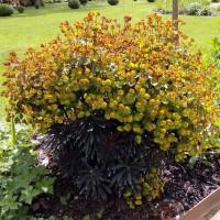 Euphorbia 'Blackbird' - Euphorbe pourpre