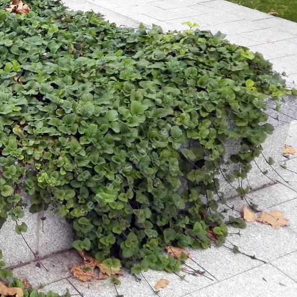 Salvia procurrens sauge rampante plante vivace pour for Plante rampante