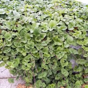 Salvia procurrens - Sauge rampante