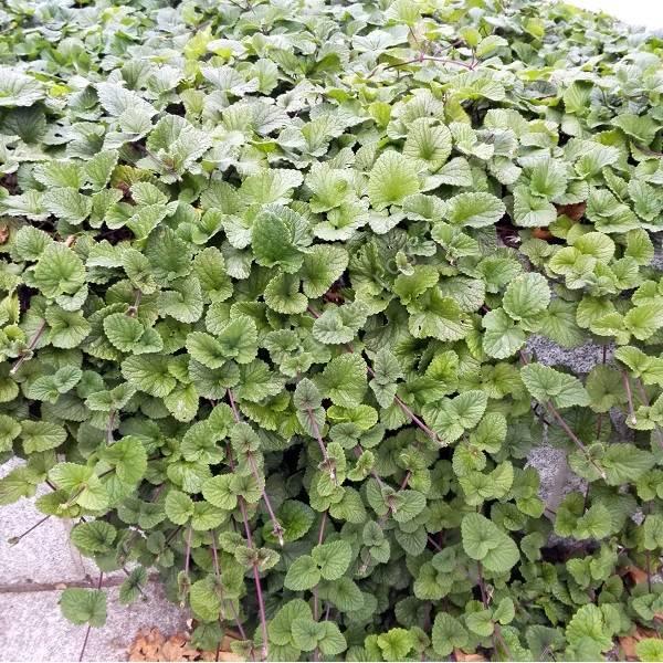 Plante rampante fabulous synonyme hutchinsia alpina for Plante vivace rampante