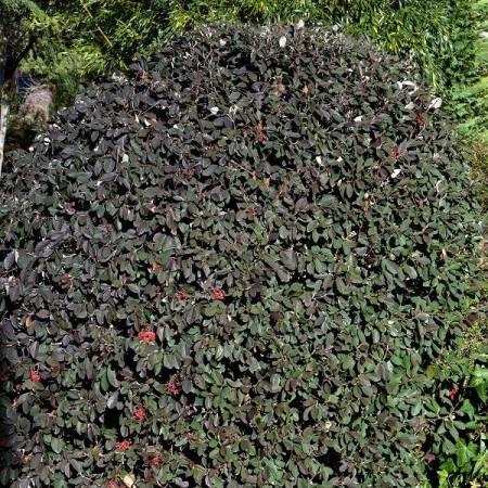 Cotoneaster lacteus - Cotonéaster laiteux
