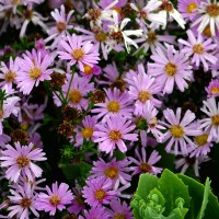 Aster dumosus 'Voeux d'Automne' - Aster nain rose