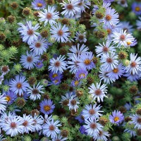Aster oblongifolius - Aster à feuille oblongue