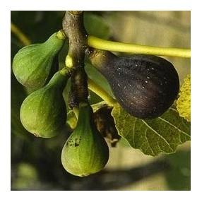 Figuier 'Col de Dame' - Ficus carica