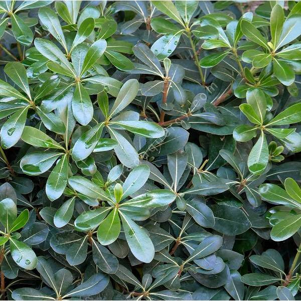 Pittosporum tobira plante- Pittospore du Japon