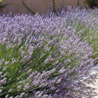 Lavandula x intermedia 'Provence' - Lavandin de provence