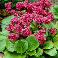 Bergenia 'Morgenröte' - Plante des savetiers à tiges rouges