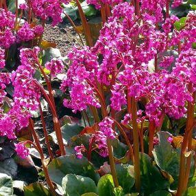 Bergenia 'Eroica', Bergénie, plante des savetiers