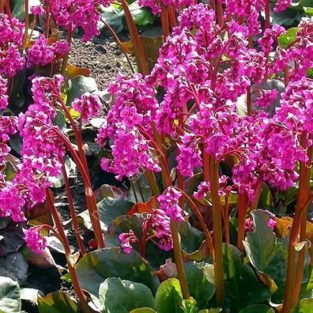 Bergenia 'Eroica' - Bergénie - plante des savetiers