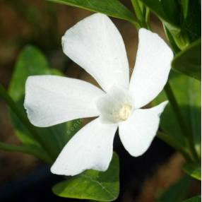Vinca minor 'Alba', Petite pervenche blanche