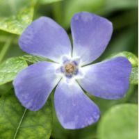 Vinca minor 'Marie' - Petite pervenche bleue