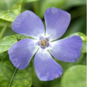 Vinca minor 'Marie', Petite pervenche bleue