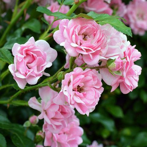 Rosa x polyantha 'The Fairy', Rosier paysage rose double