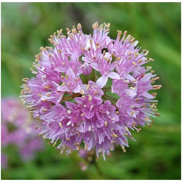 Allium senescens subsp. montanum - Ail des montagnes