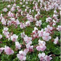 Geranium x cantabrigiense 'Biokovo' - Géranium vivace