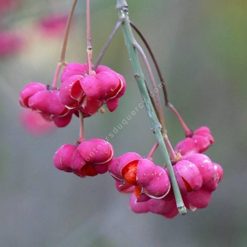 Euonymus europaeus 'Red Cascade' -  Fusain d'Europe