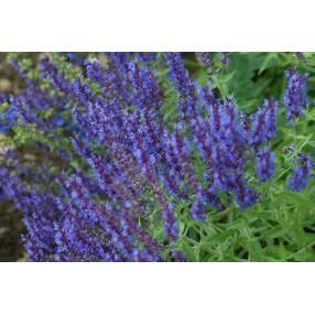 touffe de Salvia amplexicaulis