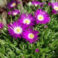 Delosperma lavisiae - Pourpier vivace rose