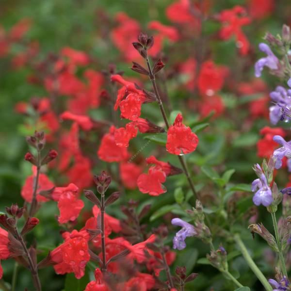 Salvia 'Vague de Chaleur Rouge' - Sauge arbustive rouge foncée