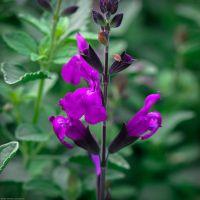 Salvia 'Artic Blaze' Purple - Sauge arbustive violette