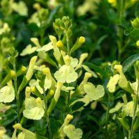 Salvia 'Citron Clair' - Sauge arbustive jaune lumineux