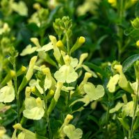 Salvia 'Lemon Light' - Sauge arbustive jaune lumineux