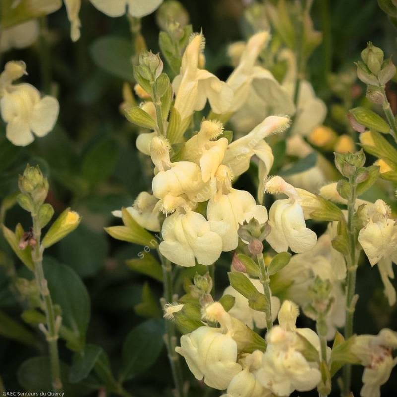 touffe de Salvia greggii 'Sungold' - Sauge de Gregg jaune