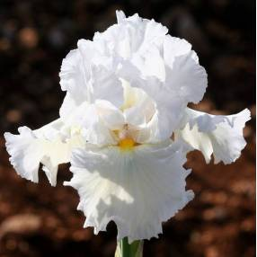 Iris 'Bonus Lite'