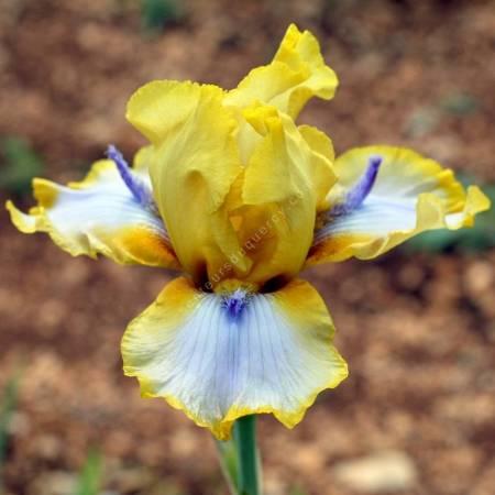 Iris 'Triple Whammy'