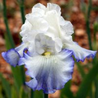 Iris 'Azure Icicle'