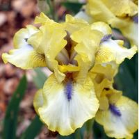 Iris 'Abbey Chant'