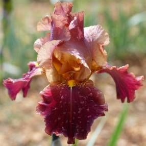 Iris 'Feu de Saint Jean'