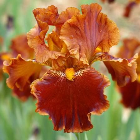 Iris 'Rustler'