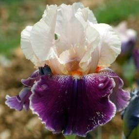 Iris 'Pu Abi'