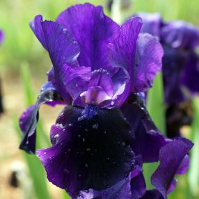 Iris 'Midnight Caller'