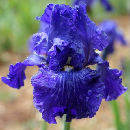 Iris 'Double Dribble'