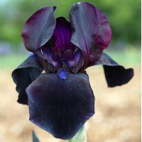 Iris 'Study In Black'