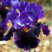 Iris 'Local Color'