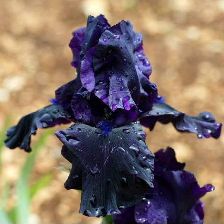 Iris 'Hello Darkness'