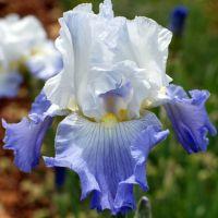 Iris 'Ruffled Ballet'