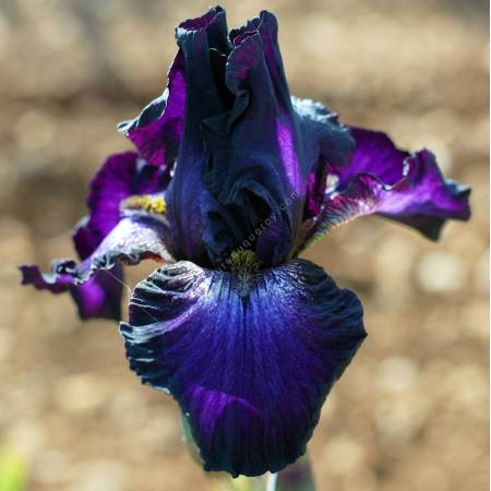 Iris 'Baltic Star'