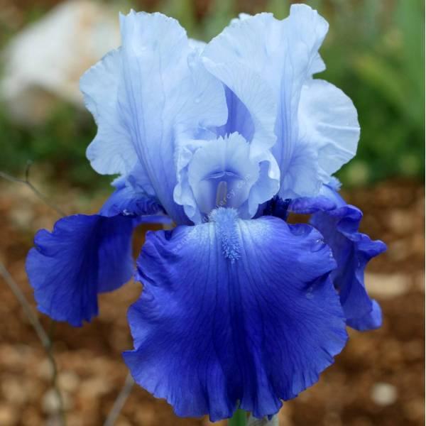Iris 'Royal Crusader'
