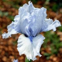 Iris 'Cap Horn'