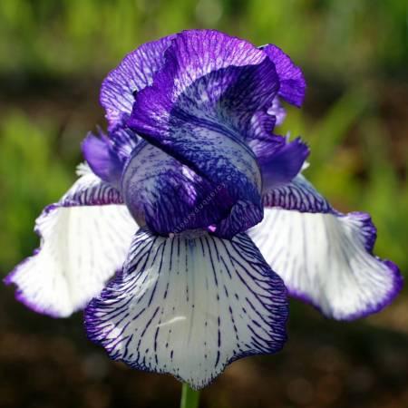 Iris 'Circus Stripes'