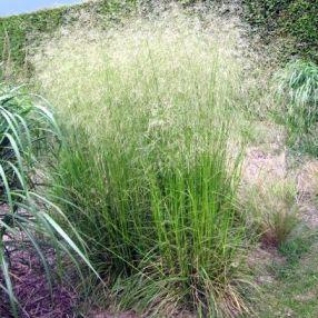 Deschampsia cespitosa 'Tardiflora' - Canche cespiteuse